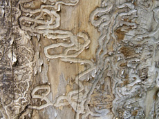 save-trees-from-the-emerald-ash-borer