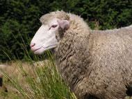 أنفلونزا الماعز فيروس جديد يهدد العالم