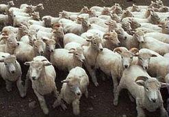 انفلونزا الماعز