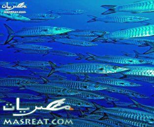 اسماك القرش في البحر الاحمر