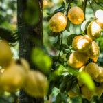limoni massa lubrense