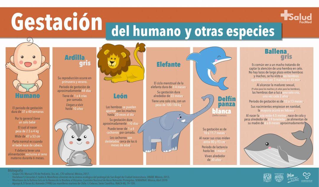 Periodos de gestación del ser humano y otros mamíferos