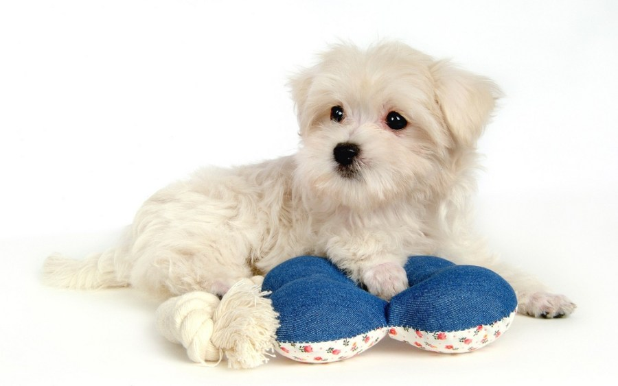 Maltese-cute-puppy-pictures-1