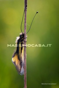 libelloides-coccajus_0