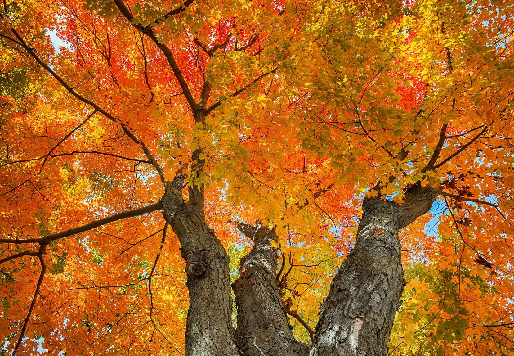 How Sugar Maple Trees Work