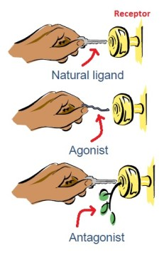 Agonist vs Antagonist Drugs