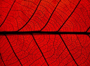 red_leaf_connections.jpg