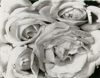white roses by modotti
