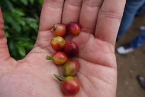 赤く実ったコーヒー豆 グアテマラ