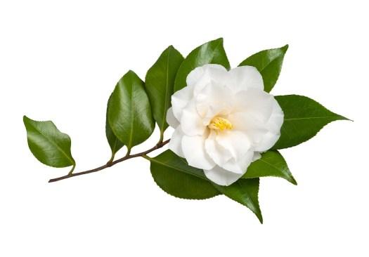 Camellia-Sinensis-Leaf-