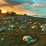 A grande mentira: MST rouba ovos de tartarugas no Rio Solimões