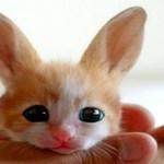 Não é gato, nem coelho: a raposa-do-deserto é o bicho!