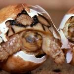Tatuagem em cascos de tartarugas para evitar tráfico e extinção