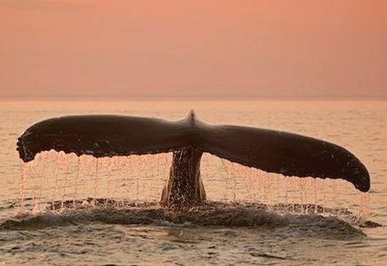 Cauda de baleia em mergulho