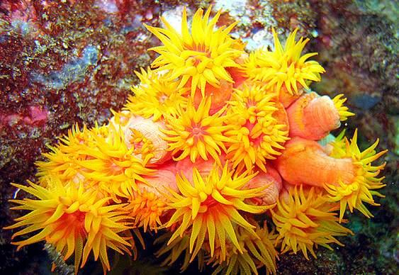 Coral Assassino