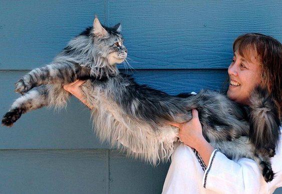 Maior gato do mundo - Guiness Book