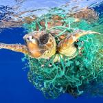 Tartaruga marinha luta pela vida enroscada numa rede de pesca