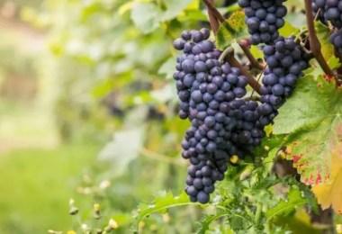 grape fat loss abilities