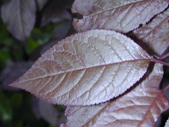 Prunus Cerasifera Cv Atropurpurea