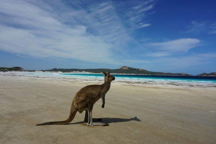Lucky Bayllä näkee lähes takuuvarmasti kesyjä kenguruita