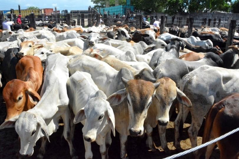 Abate de bovinos reduz no primeiro trimestre do ano. Fêmeas registram maior queda