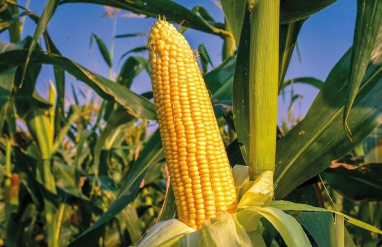 Alta do milho em Mato Grosso supera 120% na safra 2021/22 influenciado pelo ciclo das commodities