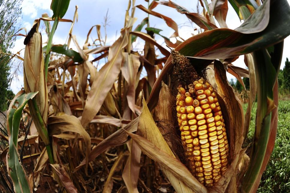 Escassez de chuvas gera prejuízo de até 50% na produção do milho em algumas regiões de Mato Grosso