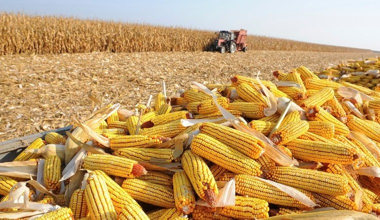 Milho registra avanço na colheita em Mato Grosso, mas ainda continua com atraso, segundo Imea