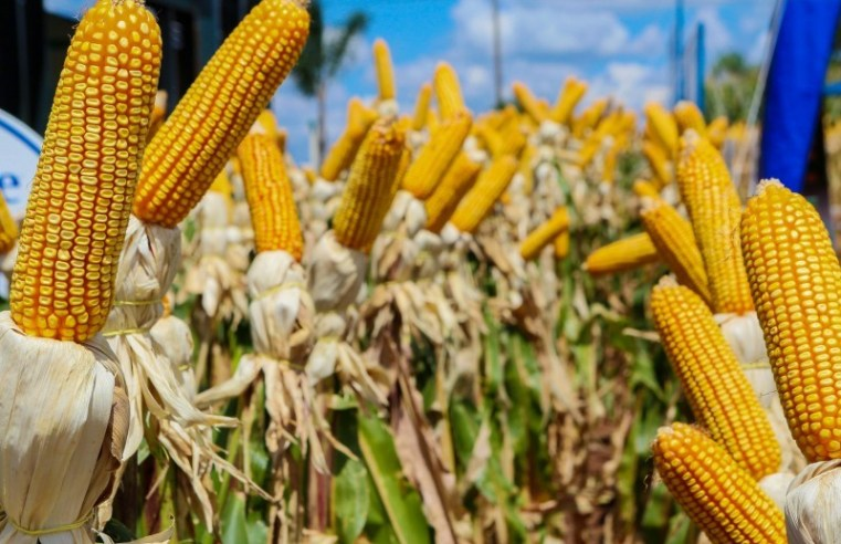 Com avanço da colheita em Mato Grosso milho registra queda de preço