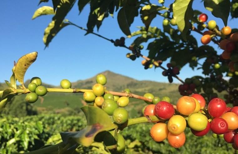Na contramão nacional, MT é o único a expandir produção de café