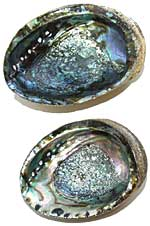 Abalone Shell - Whole - Blue / Green