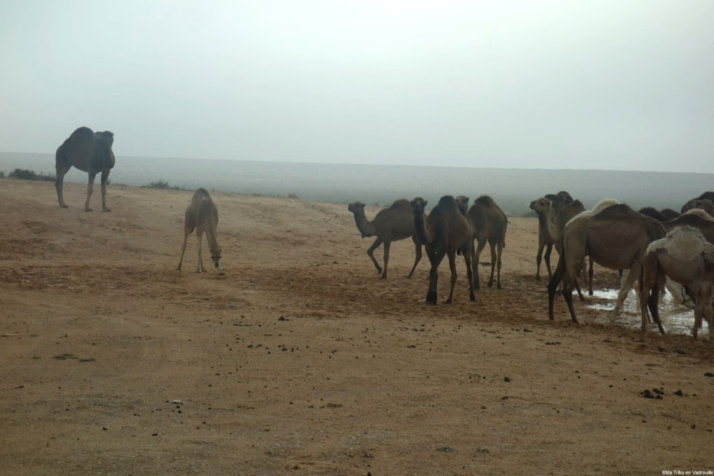 troupeau de dromadaires tunisie