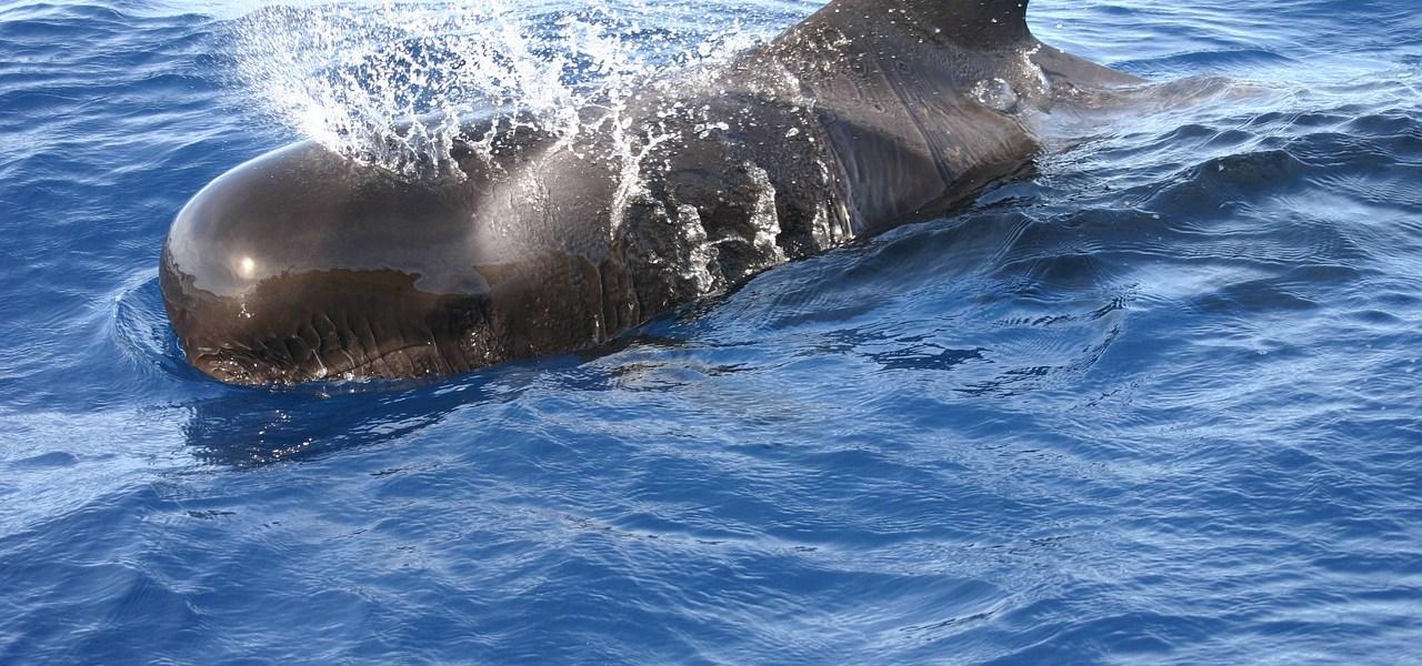 baleine-pilote Tenerife