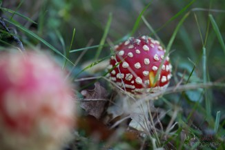 A pretty young Fly Agaric (amanita muscaria)