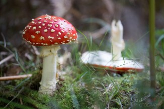 The quintessential fairytale posionous toadstool - the Fly Agaric