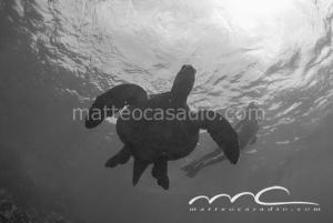 turtle-adri