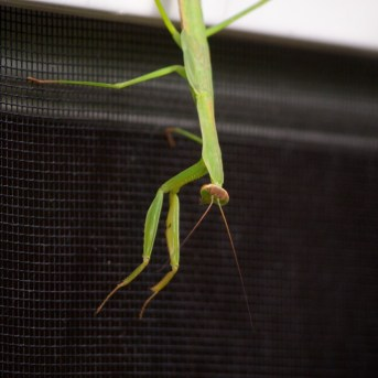 hello there praying mantis