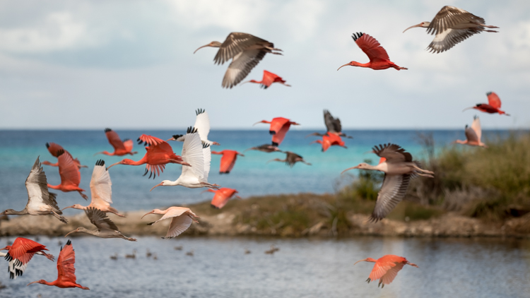 A crowd of baby flamingos flying by a pond with ocean view.