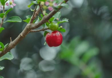 Perchè l'Acerola fa bene – proprietà, benefici, valori nutrizionali