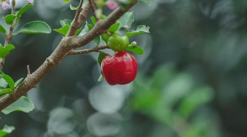 Acerola - proprietà, benefici, valori nutrizionali, calorie, usi