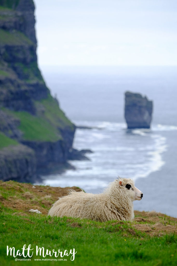 Faroese sheep by the side of a cliff with a dramatic view in the background