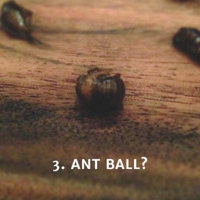 Eating an Ant Ball