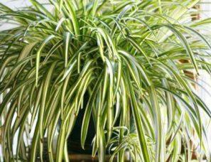 Chlorophytum Plant Cultivation