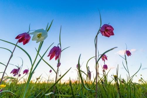 Schachbrettblumen-Fotografieren
