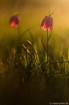 zwei-schachbrettblumen