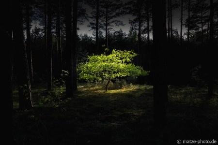Baum-im-Wald-leuchtet
