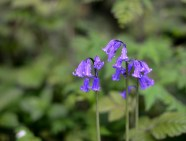 Maulden Kingswood bluebell closeup