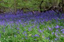 Maulden Kingswood bluebell carpet