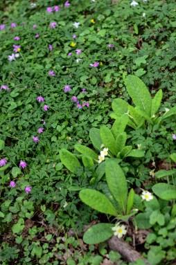 Maulden King's Wood flowers