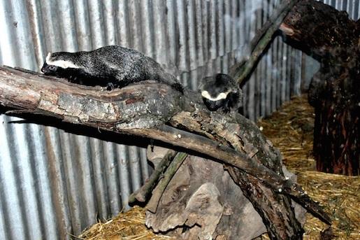 Zoológico de Linares inaugurará nueva sección con animales de hábitos nocturnos